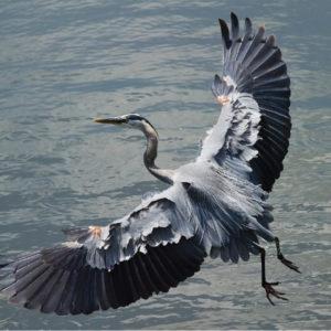 birds on hilton head great blue herons hilton head sc