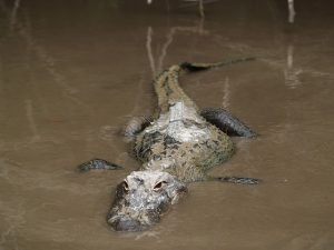 Alligator emerging from mud