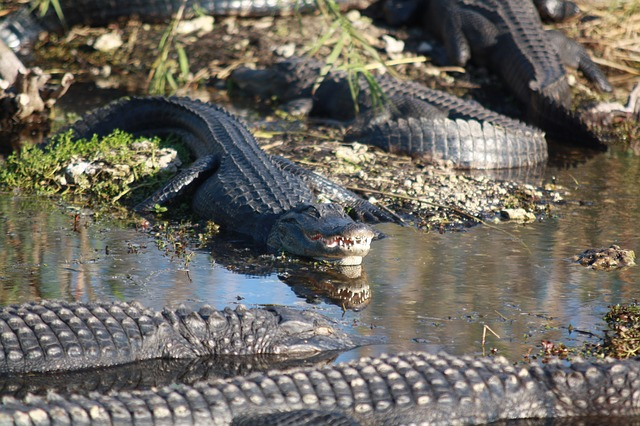 alligators basking on the banks of a lagoon