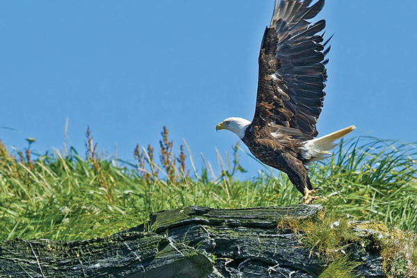 eagle launching into flight