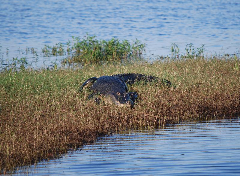 Alligator sunning himself on bank