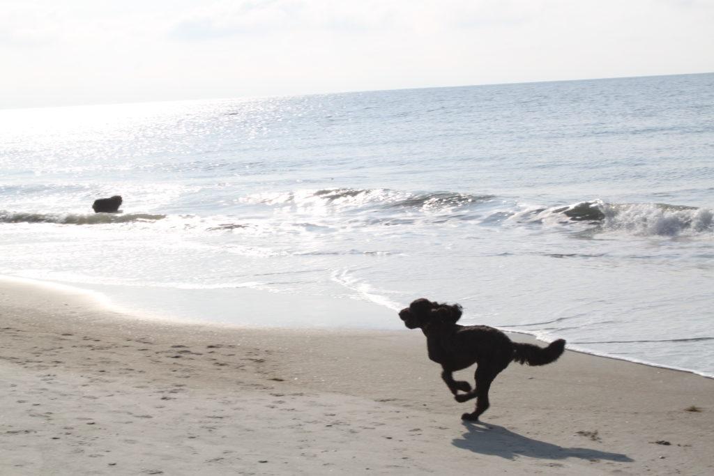 Folly Field Beach Dog Friendly on Hilton Head Island