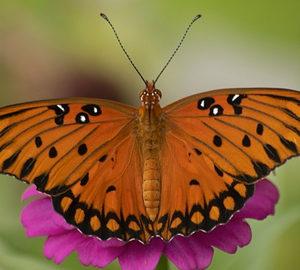 g butterfly