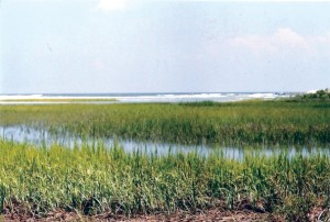 marshgrass ecosystem