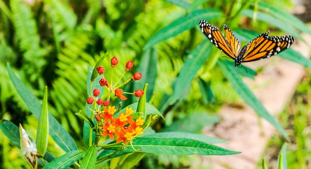 Monarch butterfly and milkweed plant.
